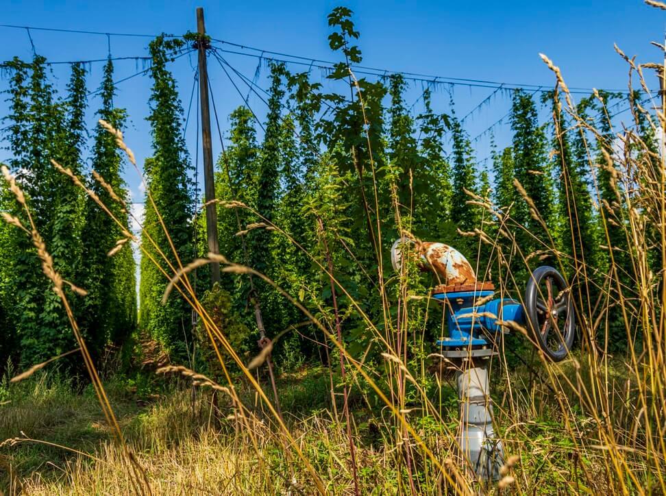 bière de noel récolte houblon